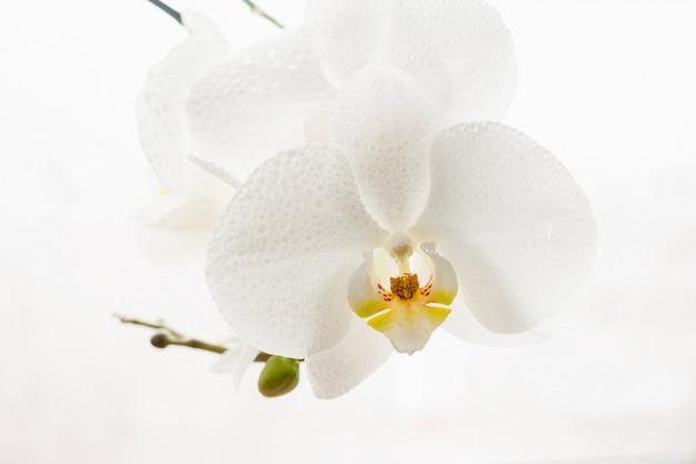 白の滴で純粋な白蘭の枝