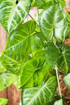 木製の壁に緑のイチジクの葉