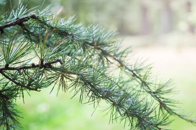カラマツのクローズアップの緑の枝。スプルースの枝。