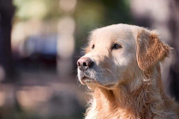 Портрет красивой собаки золотистого ретривера