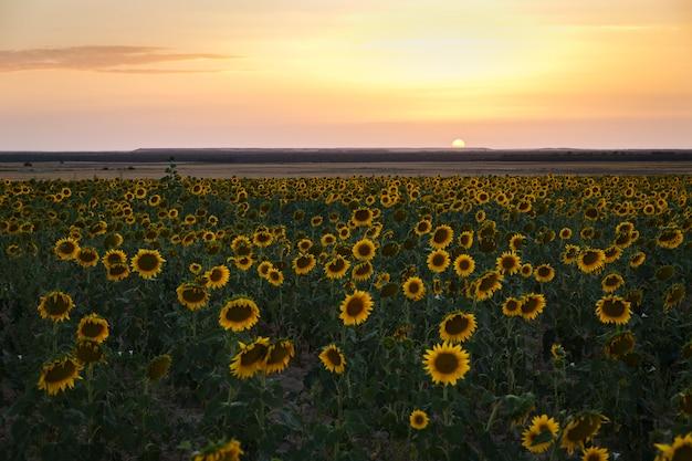 黄色のひまわり畑