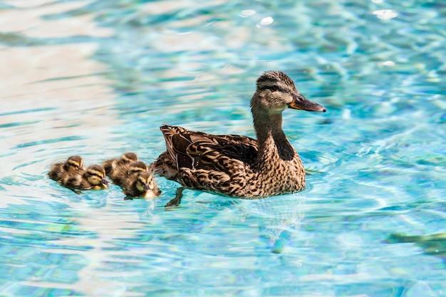 アヒルの水泳
