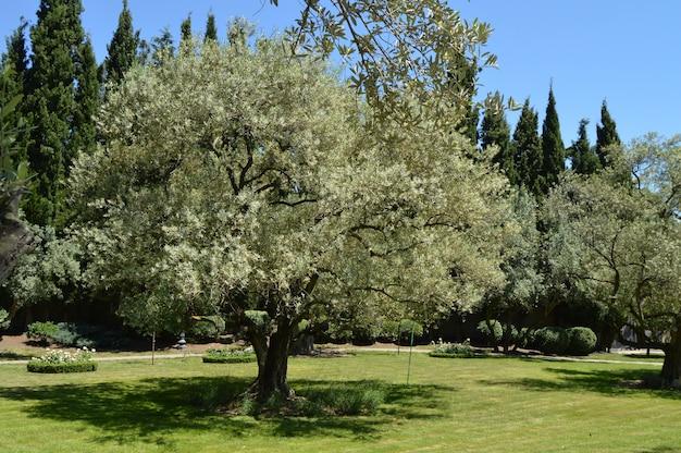 春の公園で開花枝を持つオリーブの木