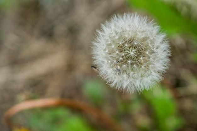 草に囲まれたタンポポをクローズアップ