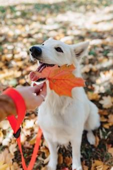 ホワイトスイスシェパードは秋の日当たりの良い公園で楽しんでいます。