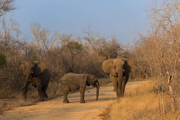Африканские слоны на сафари по южной африке в национальном парке крюгера
