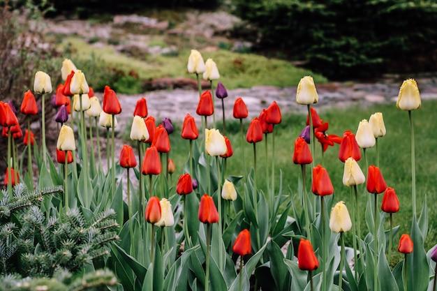 花チューリップの背景。