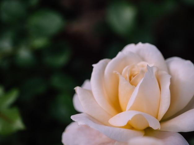 Роза фоны для дня святого валентина или другого торжества, выборочный фокус