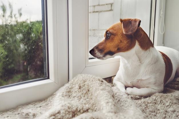 Грустная собака лежит на окне и ждет хозяина.