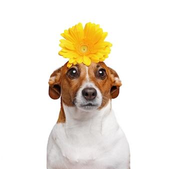 彼の手に白い背景で隔離の花とジャックラッセル犬。