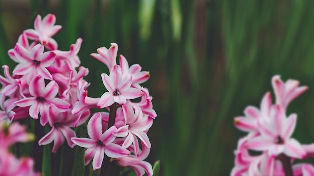 Розовые гиацинты растут на весеннем саду.