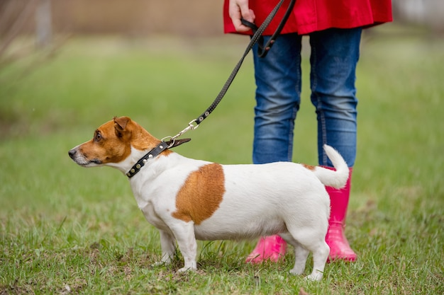 ジャックラッセル犬と春の公園を歩いて赤いブーツの女の子。