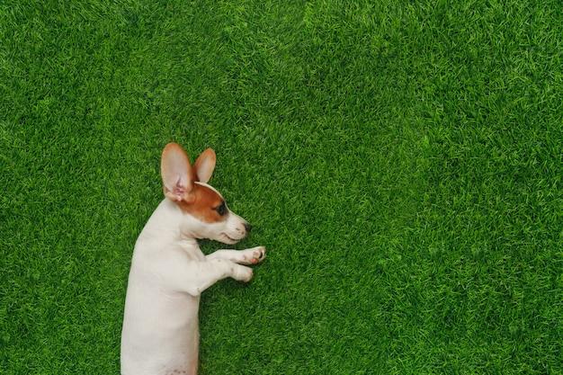 緑の芝生の上に横たわる子犬ジャックラッセルテリア。