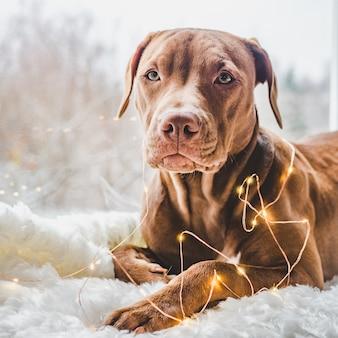 Очаровательный щенок и украшения. закрыть