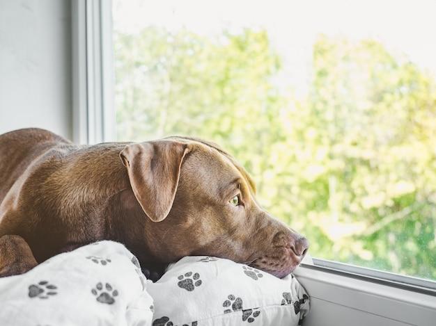 Симпатичный, симпатичный щенок шоколадного окраса. крупный план