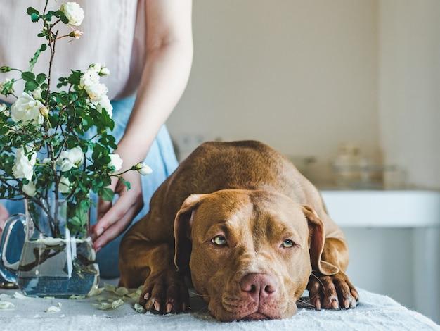 チョコレート色の愛らしい、かわいい子犬。閉じる