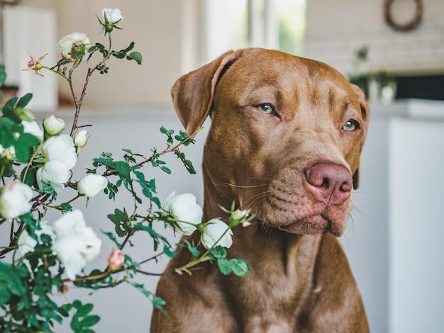 Симпатичный, симпатичный щенок шоколадного окраса.