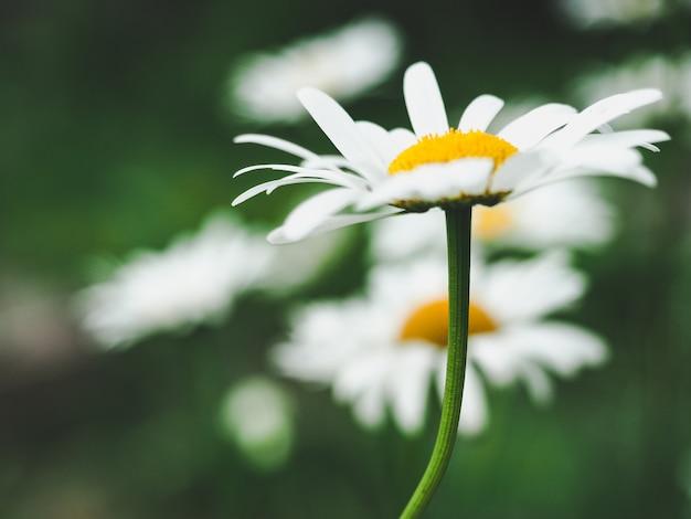 Красивые, цветущие полевые цветы - ромашки