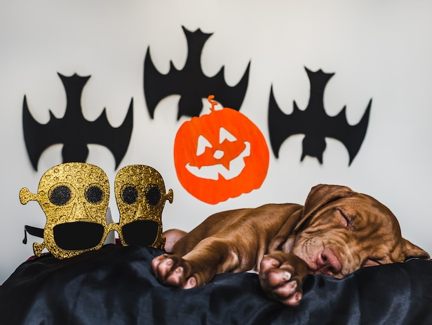 黒い敷物、ハロウィーンの装飾の上に横たわる魅力的なピット・ブルの子犬