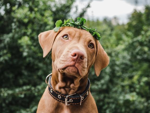 花輪とチョコレート色の甘い子犬
