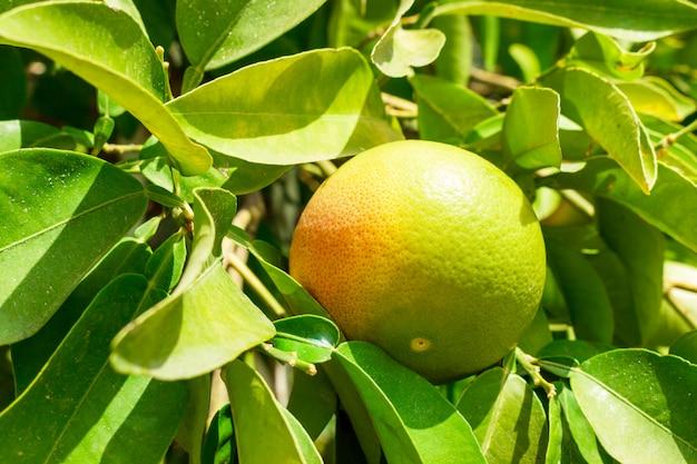 プランテーションの木に緑のグレープフルーツをクローズアップ