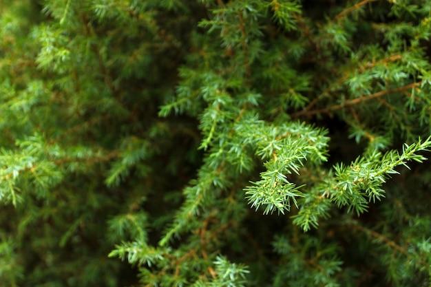 グリーンモミの木の枝の背景をクローズアップ