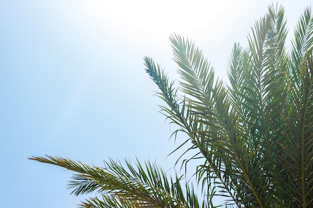 Листья пальмы и утренний свет. пальмовый лист против голубого неба