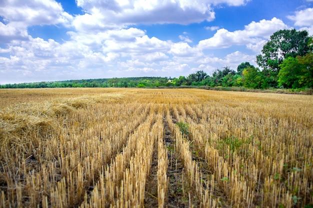 Большое желтое поле после сбора урожая.