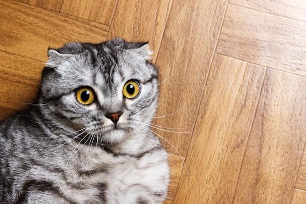 床に横になっている驚いた猫をクローズアップ。