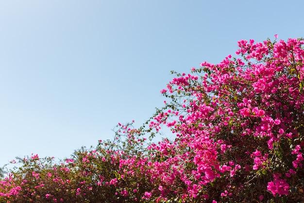 青い空を背景ブーゲンビリアピンクの木