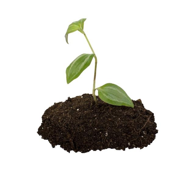 分離された腐植と若い植物