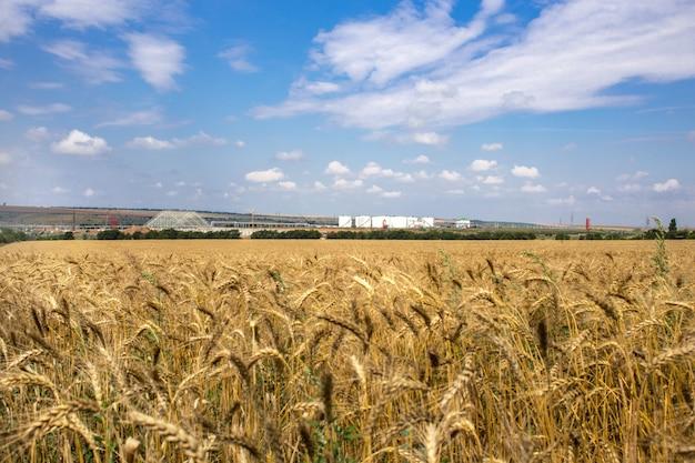 黄色の穀物は圃場で成長する収穫の準備ができて