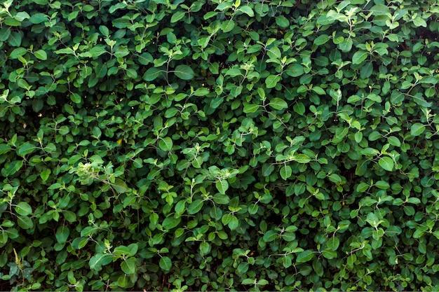 緑の葉の質感。晴れた日に葉のテクスチャ背景