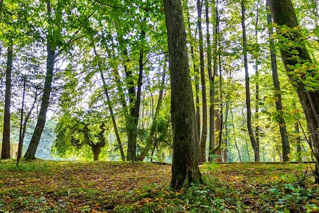 森の木。自然の緑の木の背景晴れた日