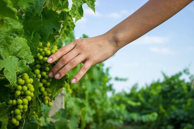 Виноградные лозы в руке с теплым солнечным светом. фермер осматривает выращивание винограда