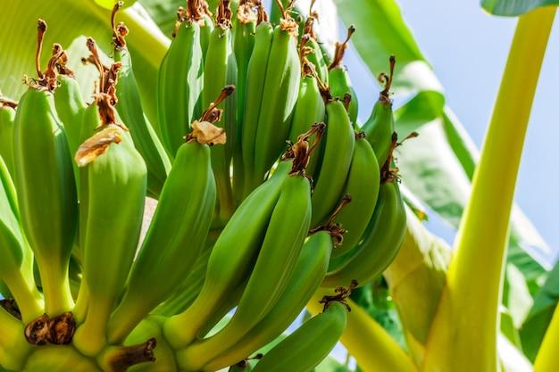 Букет из зеленых бананов на дереве