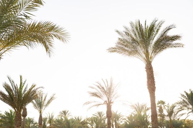 Многие пальмы закат с эффектом старинных с копией пространства