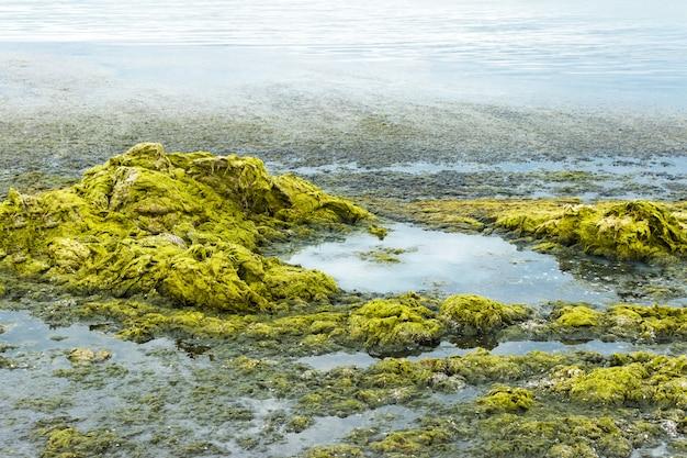 海岸の緑の海藻生態学および自然災害の概念