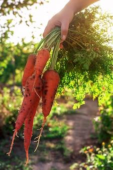 女性の手で土と新鮮なオレンジのニンジンの束