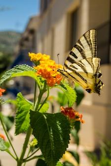 黄色の花に蜜を飲みながら蝶