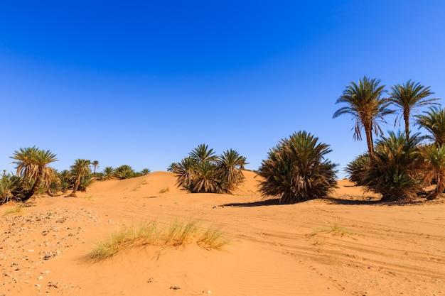 砂漠のヤシの木