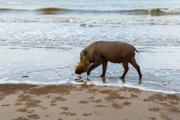 ひげを生やした豚が水の上を歩く