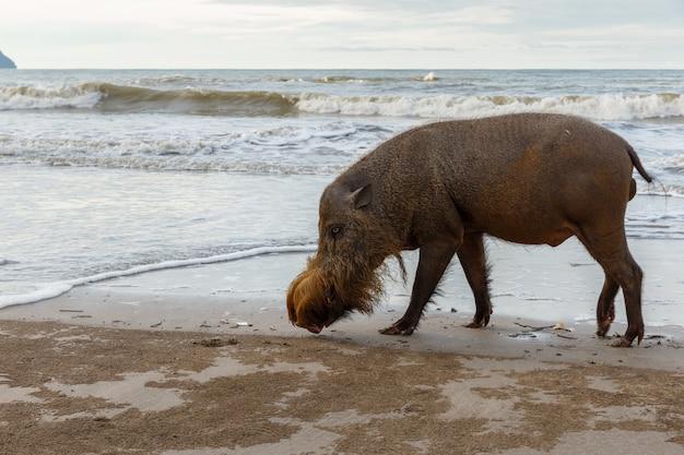 ひげを生やした豚はビーチを歩いています。