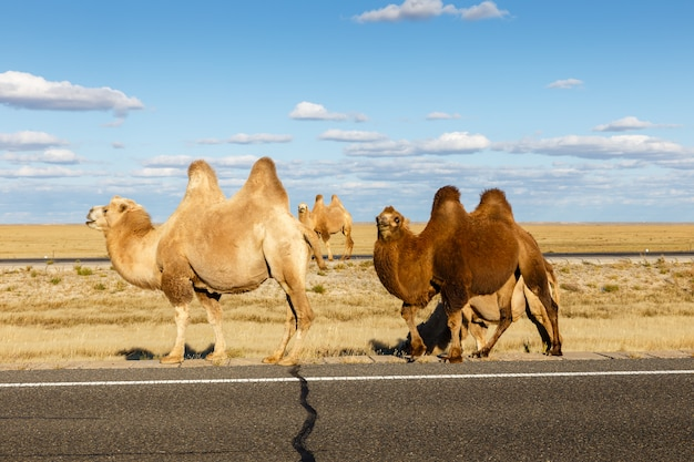 内モンゴル、ゴビ砂漠のラクダ