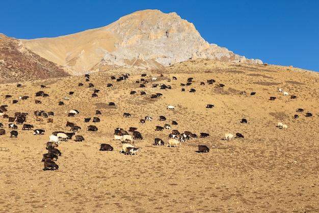 ヒマラヤで放牧ヤギの群れ。