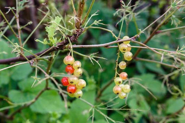 赤スグリの未熟果実。