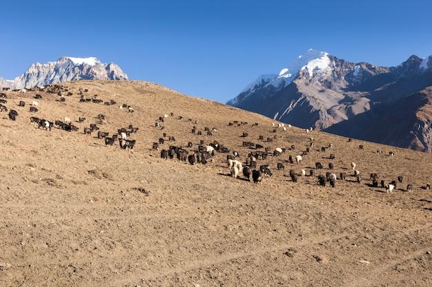 ヒマラヤで放牧ヤギの群れ