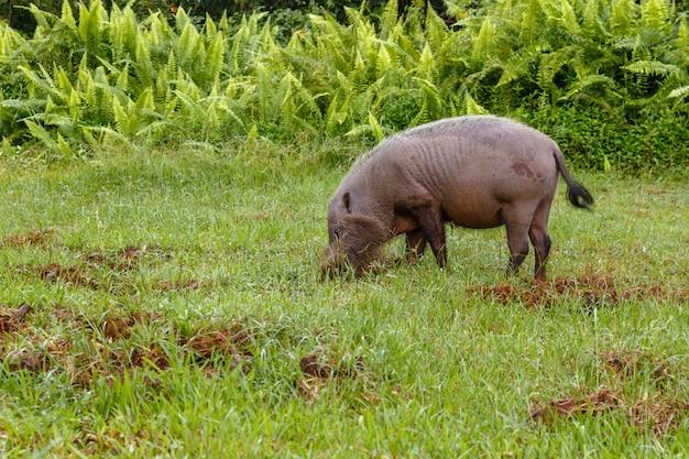 ひげを生やした豚は地球を掘る