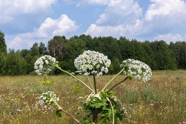 牛パースニップの花