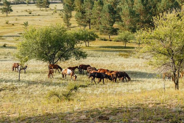 牧草地のモンゴルで草を食べている馬の群れ